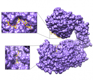 The overall crystal structure of an extracellular arabinanase